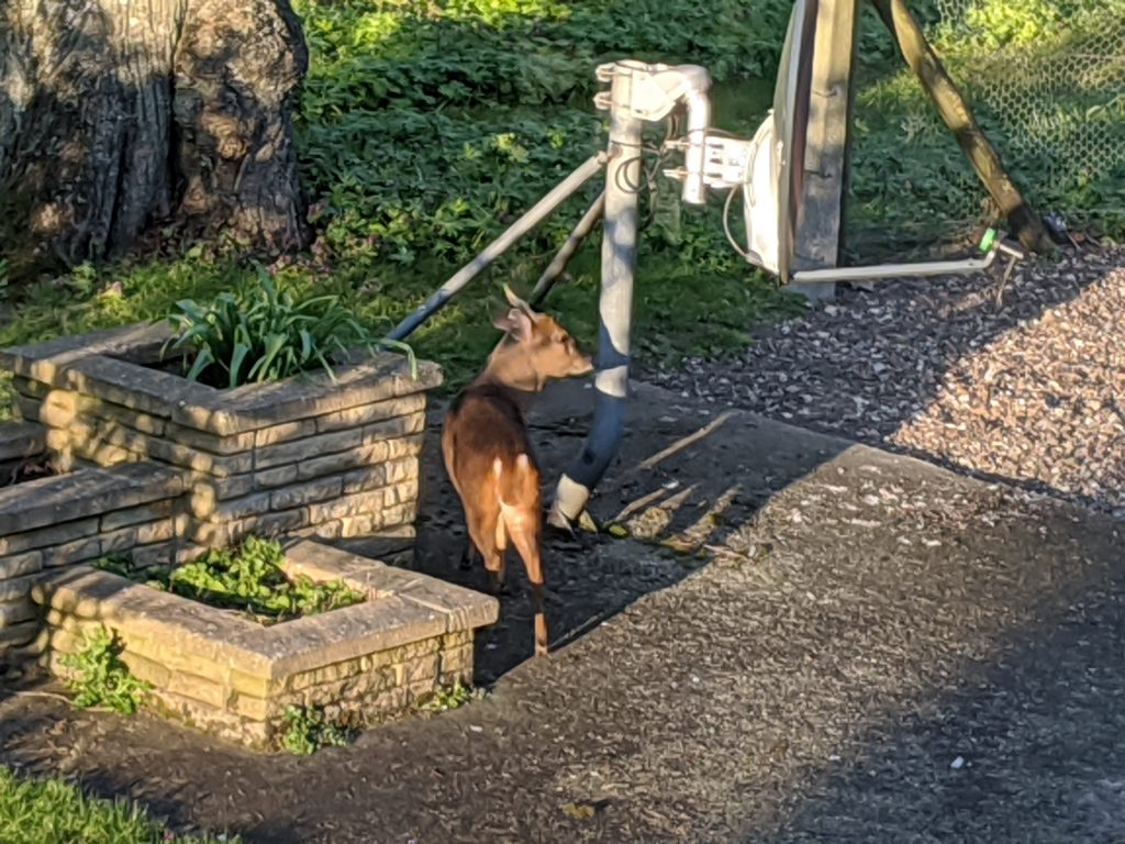 A muntjac standing next to a metal post and a brick planter.
