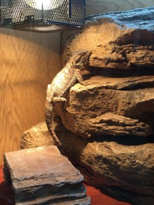 Gerard the bearded dragon basking under the light on a rock in his vivarium